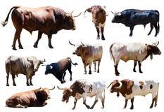 Uppsättning av tjurar. Isolerat över vit Arkivfoto