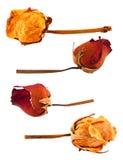 Uppsättning av torkade rosor Arkivfoto