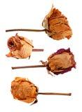 Uppsättning av torkade rosor Arkivbilder
