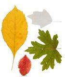 Uppsättning av torkade sidor av olik färg för en herbarium isolerat Royaltyfria Bilder