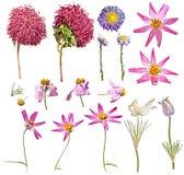 Uppsättning av torra blommor: rosa aster, violetta aster, kosmos blommar, snödroppar som isoleras på vit bakgrund Arkivbild
