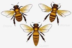 Uppsättning av tre Honey Bees Drottning och arbetare och surr detaljerat vektor illustrationer