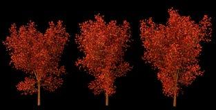 Uppsättning av tre träd med röda sidor Arkivbilder