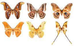 Uppsättning av tropiska saturniidaenattmalar Arkivfoto