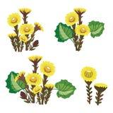 Uppsättning av tussilagoen Samling av medicinalväxter Vektorillustration av gula blommor Medicinsk växt royaltyfri illustrationer