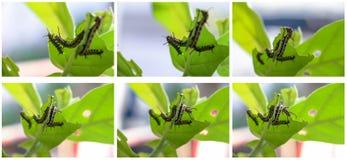 Uppsättning av vanliga Tiger Butterfly Caterpillar som äter Calotropis det gigantiska bladet Arkivbild