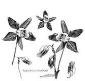 Uppsättning av vulgaris blommor för aquilegia med blomstrade knoppar och som blomstrar inte ännu royaltyfri foto