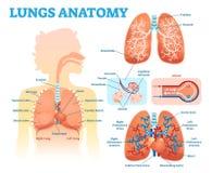 Uppsättning för diagram för illustration för vektor för lungaanatomi medicinsk med lungalober, luftrör och alveoler Bildande info royaltyfria foton