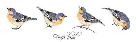 Uppsättning för finkfågelillustrationer Royaltyfria Bilder