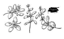 Uppsättning för illustration för mejramvektor hand dragen Isolerat kryddaobjekt vektor illustrationer