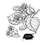 Uppsättning för lindvektorteckning Isolerade lindblomma och sidor Växt- inristad stilillustration vektor illustrationer