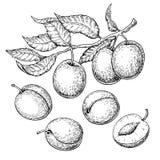 Uppsättning för plommonvektorteckning Hand dragen frukt, filial och skivad paj stock illustrationer