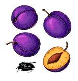 Uppsättning för plommonvektorteckning Hand dragen frukt och skivade stycken Royaltyfria Bilder