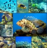 Uppsättning för Röda havetkorallfisk Arkivfoto