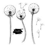 Uppsättning för teckning för maskrosblommavektor Isolerat lös växt- och flygfrö Växt- inristad stil stock illustrationer