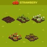 Uppsättning 13 Isometrisk etapp av tillväxtbär Röd jordgubbe Arkivbild