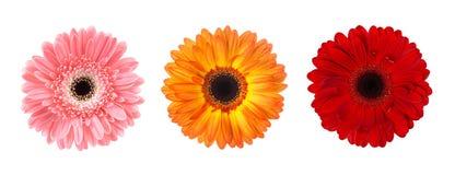 Uppsättningen av blommagerberaen slår ut i olika färger som isoleras på vit bakgrund Arkivbilder
