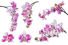 Uppsättningen av den isolerade orkidén blommar med stora rosa fläckar Fotografering för Bildbyråer