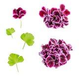 Uppsättningen av den purpurfärgade pelargonblomman för blommande sammet isoleras på whi Royaltyfri Bild