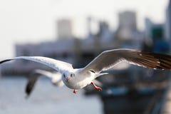 Uppsättningen av flygseagulls, de vita fiskmåsarna flyger över havet Fotografering för Bildbyråer