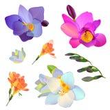 Uppsättningen av freesia blommar för din design Arkivbild