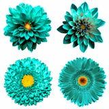 Uppsättningen av 4 i 1 overkliga turkos blommar: isolerade krysantemum-, gerbera- och dahilablommor royaltyfri foto