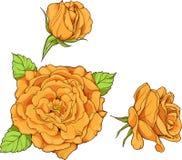 Uppsättningen av 3 isolerade gula rosor Arkivbild