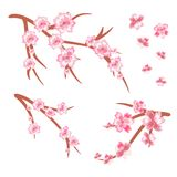 Uppsättningen av körsbäret förgrena sig i blom Körsbärsröda blomningar Vår isolate Arkivfoto
