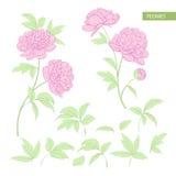 Uppsättningen av pionen blommar beståndsdelar Royaltyfria Bilder