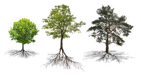 Uppsättningen av tre träd med rotar isolerat på vit royaltyfria bilder