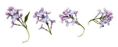 Upps?ttning av lilablommor och sidor royaltyfria foton