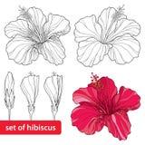 Uppsättning av den kinesiska hibiskusen eller hibiskusen rosa-sinensis på vit bakgrund Blommasymbol av Hawaii Arkivfoto