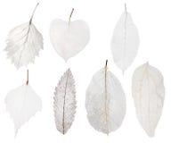 Uppsättning av det ljusa skelettet för blad som sju isoleras på vit Arkivbild