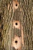 Upptagen hackspett - trädhål royaltyfria foton
