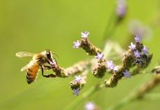 upptagen honungframställning Royaltyfri Fotografi