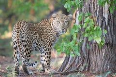 Upptagen markering för stor manlig leopard hans territorium på träd arkivbilder