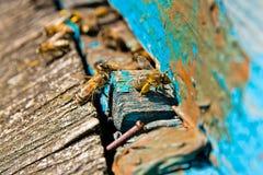 Upptagna bin, övre sikt för slut av de funktionsdugliga bina Royaltyfria Foton