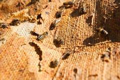 Upptagna bin, övre sikt för slut av de funktionsdugliga bina Royaltyfria Bilder