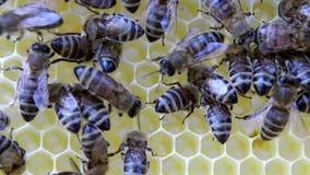Upptagna bin, övre sikt för slut av de funktionsdugliga bina på honungskakan stock video
