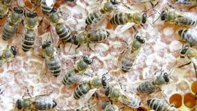 Upptagna bin, övre sikt för slut av de funktionsdugliga bina på honungskakan arkivfilmer
