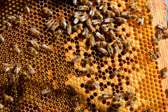 Upptagna bin, övre sikt för slut av de funktionsdugliga bina på honungskakan Arkivbild