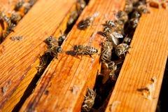 Upptagna bin, övre sikt för slut av de funktionsdugliga bina på honungskakan Royaltyfri Fotografi