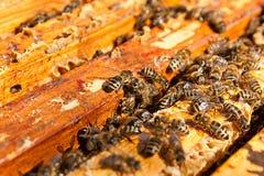 Upptagna bin, övre sikt för slut av de funktionsdugliga bina på honungskakan Arkivfoton