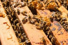 Upptagna bin, övre sikt för slut av de funktionsdugliga bina på honungskakan Royaltyfri Bild