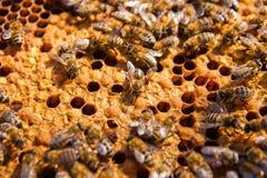 Upptagna bin, övre sikt för slut av de funktionsdugliga bina på honungskakan Royaltyfri Foto