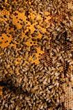 Upptagna bin, övre sikt för slut av de funktionsdugliga bina på honungskakan Arkivfoto