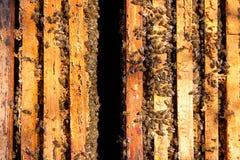 Upptagna bin, sikt av de funktionsdugliga bina på honungskakan Royaltyfria Bilder