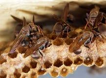 Upptagna wasps Royaltyfri Fotografi