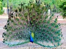 Uppvakta påfågeln Royaltyfri Fotografi