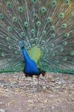 Uppvakta påfågeln Royaltyfri Foto